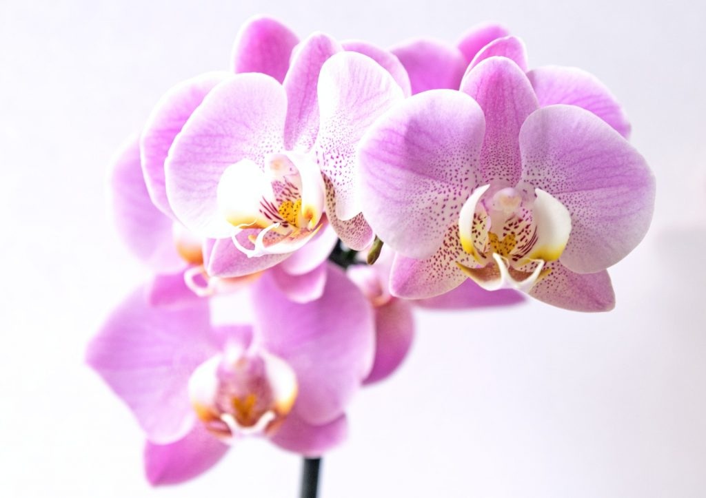 How long does an orchid bloom last?